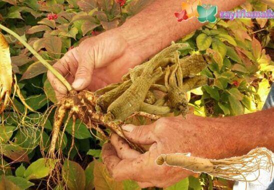 Ginseng Çayı ile Zayıflama | 1 Ayda 6-10 Kilo